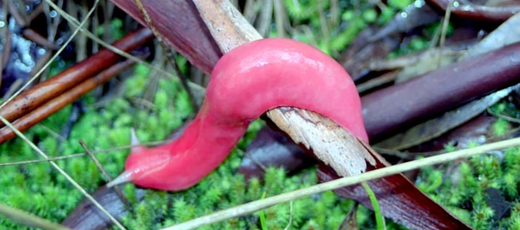 Pink Slug Pilliga Forest - James Faris
